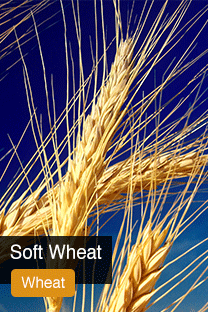 Product Soft Wheat Yellowrock