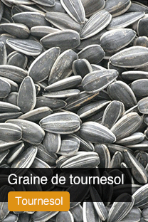 Produit Graine de Tournesol Yellowrock